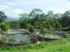 Tilapia, Asesoria Profesional En El Cultivo De Tilapia