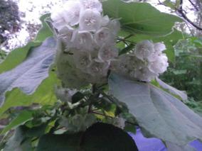 Sementes De Astrapéia Branca Dombeya Natalensis Rara