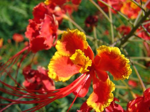 Flamboyanzinho Flamboyant Mirim Vermelho  15 Sementes