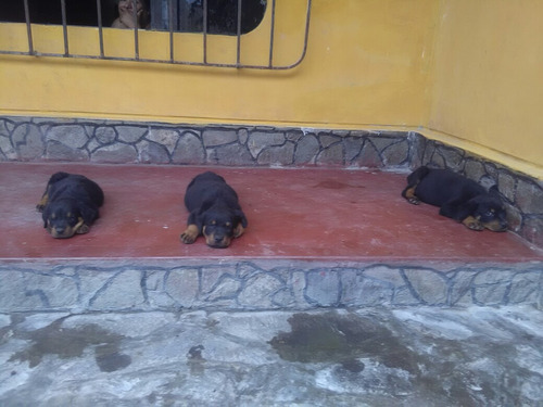 Imagen 1 de 6 de Cachorros Rottweiler