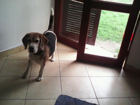 Servicio De Beagle Tricolor A Cambio De Cachorros