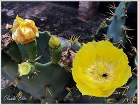3 Palmatória De Espinhos(opuntia Manacantha)
