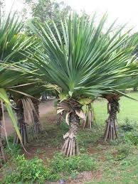 Planta Exótica E Ornamental Pandanus Utilis 1 5 M Mercado Livre