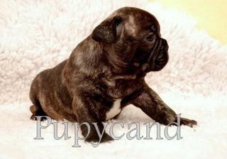 Bulldog Frances Con Fca Pagos Y Ajuar De Regalo