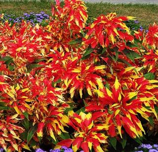 100 Semillas Amaranthus Tricolor