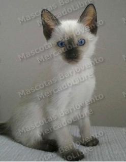 Gran Oferta Gatos Siames Genuinos Registro Garantizados Fcm