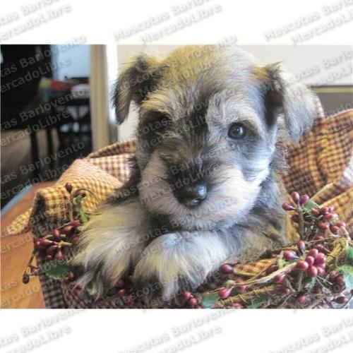 Imagen 1 de 6 de Gran Oferta Cachorros Schnauzer Miniatura Unicos Aptos A Fcm