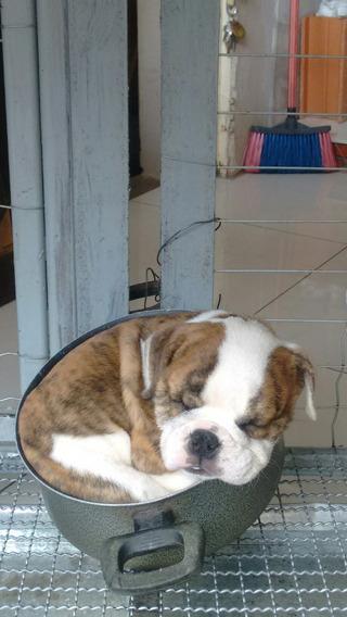 Filhote De Bulldog Ingles Macho