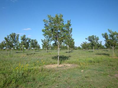 Campo Con Plantación De Nuez Pecan
