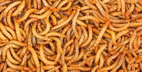 Tenebrio Molitor X 200 Un. (gusano Dela Harina)alimento Vivo