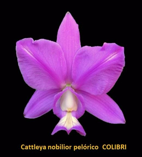 Cattleya Nobilior Labeloide  Colibri  - Meristema De Nativa