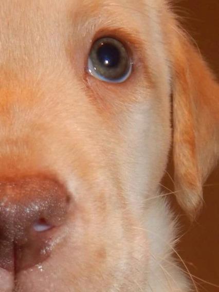 Hermosos Cachorros De Labrador Retriever