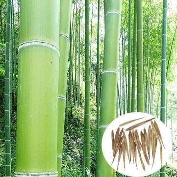 10 Sementes De Bambu Mosso Gigante + Frete Grátis