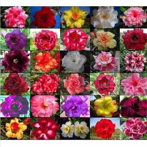 100 Sementes Mix Rosa Do Deserto Adenium Obesum (30 Cores)