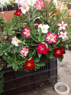 Flor Del Desierto (adenium) De Semilla, Varios Colores