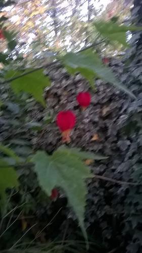Abutilon, Farolito De Jardin Rojo.-