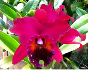 Orquidea Rhyncholaeliocattleya Ana Maria Braga Semi Adulta