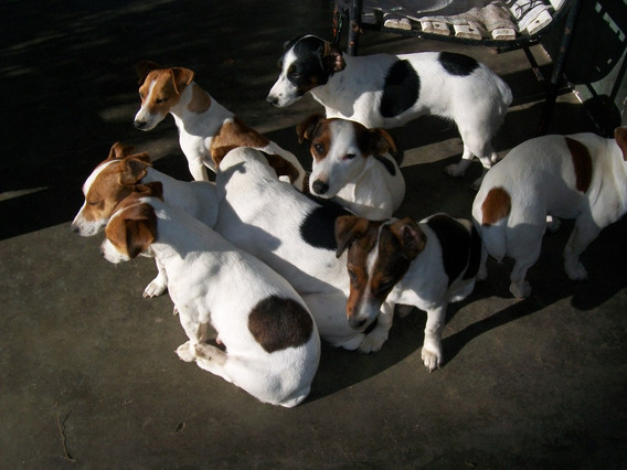 Hermosos Jack Russell Terrier Solo Machos