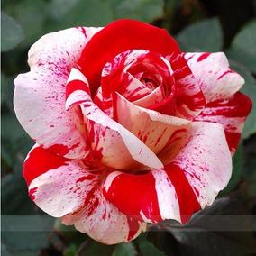 200 Sementes De Rosa Cor De Rosa (raras Exóticas )p/ Mudas