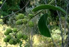 Amora Verde Rubus Imperialis - Amora-branca