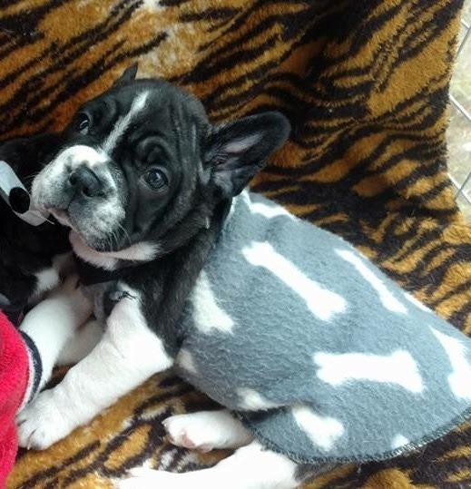 Bulldog ( Filhote) Com Pedigree Macho