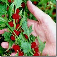 20 Sementes Morango Espinafre Fruta Rara