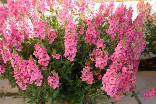 Diascia Rosa 20 Semillas Flor Requiere De Sol  Sdqro2