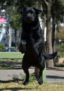 Semental Labrador Retriver Con Pedigree Internacional Riu