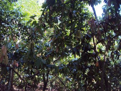 Vendo Finca De Cacao Buena Oportunidad De Inversion