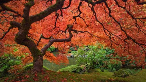 Acer Palmatum Japonês 15 Sementes Para Mudas Ou Bonsai Bôrdo