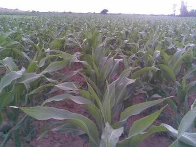Finca De Maiz 40,000 Tarea En Produccion Republica Dominican