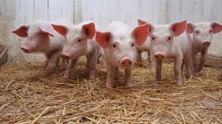 Aditivo Nutricional Natural Para Cerdos, Suplementos