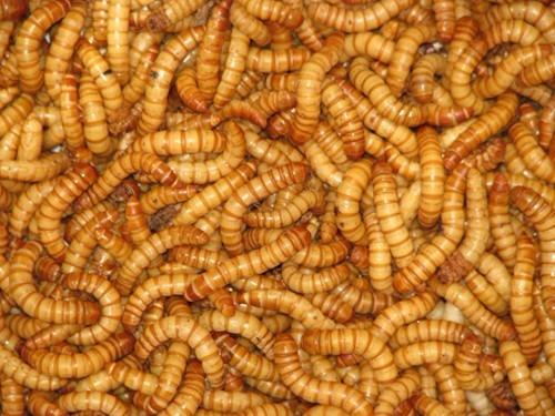 Tenebrio Larvas 1200 Unidades