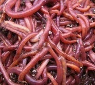 Lombrices Rojas Californianas (eisenia Foetida)