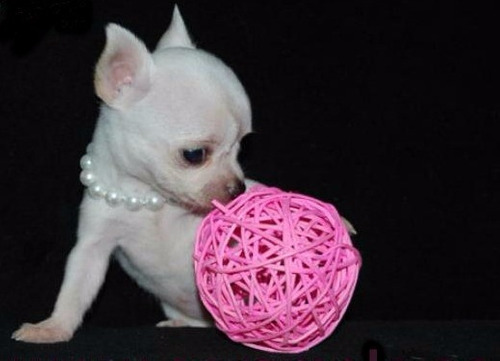 Chihuahueños Bolsilo, Chihuahuas, Chihuahuita, Cachorro,
