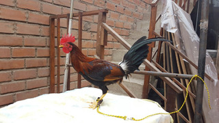 Gallo Dominicano Pollon S/120.00