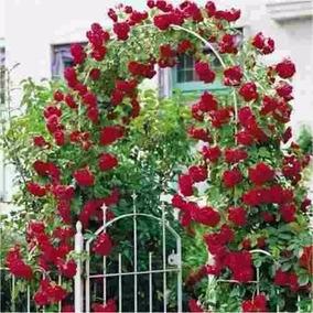Sementes Flor Rosa Trepadeira Vermelha Exóticas;promoção