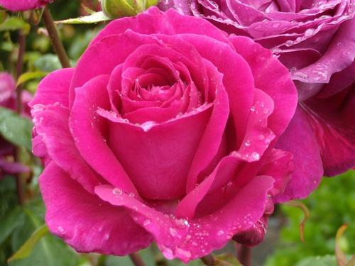 Fertilizante Liquido Para Rosas  Listo Para Usar