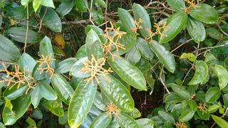 Canela De Velho - Miconia Albicans 400g (somente Folhas)