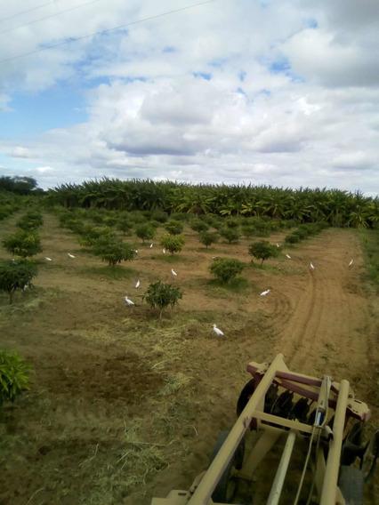 Fazenda Em Ibo Pernambuco Com 2250 Pés De Manga Tommy Etc
