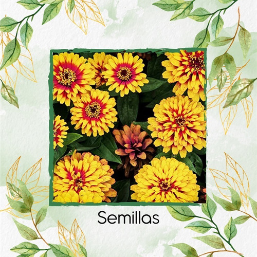 50 Semillas Flor Zinnia Alfombra De Persia + Ob Germinación