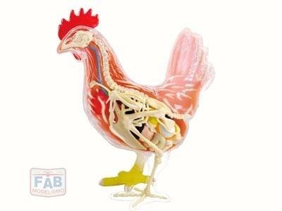 Modelo De Anatomia 4d Para Ensino Veterinário - Galinha