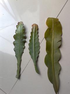 Esquejes De Cactus Orquidea O Epyphillum Sin Raiz.