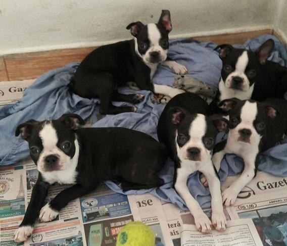 Filhotes De Boston Terrier