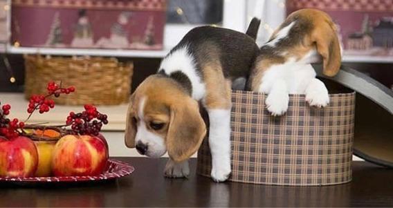 Beagle Hermosos Cachorros !!!!