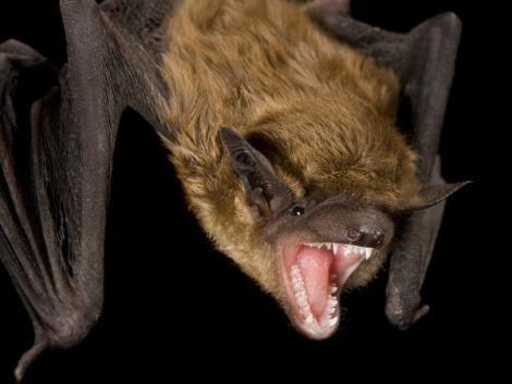 Acabar Eliminar Morcegos, Dracun 4.0 Kg,  Profissional
