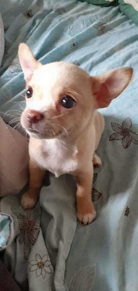Chihuahuas Mini Hembra