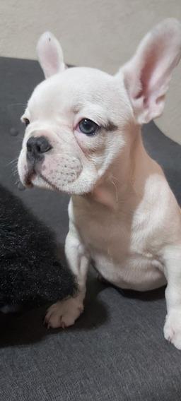 Cachorros Bulldog Frances Colores Varios