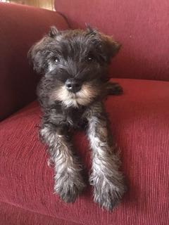 Autenticos Cachorros Sal Y Pimienta Schnauzer Miniaturas