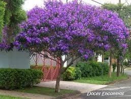 Quaresmeira Roxa 2500 Sementes P Mudas Tibouchina Flores